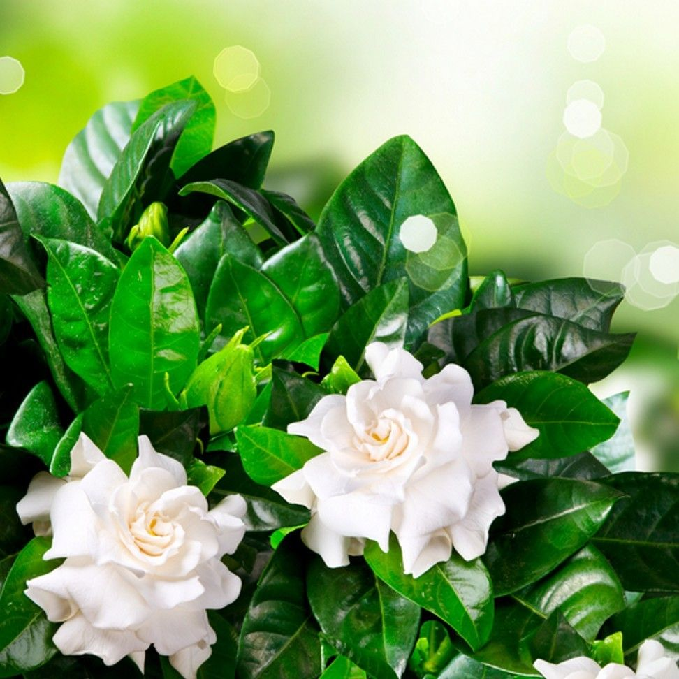 Gardenia Fragrance Oil Gardenia Fragrance Candle Fragrance Oil Gardenia