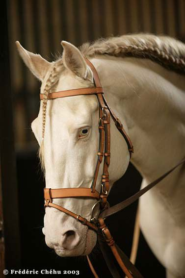Lustiano at Academy de Spectacle Equestre in Hermes bridle