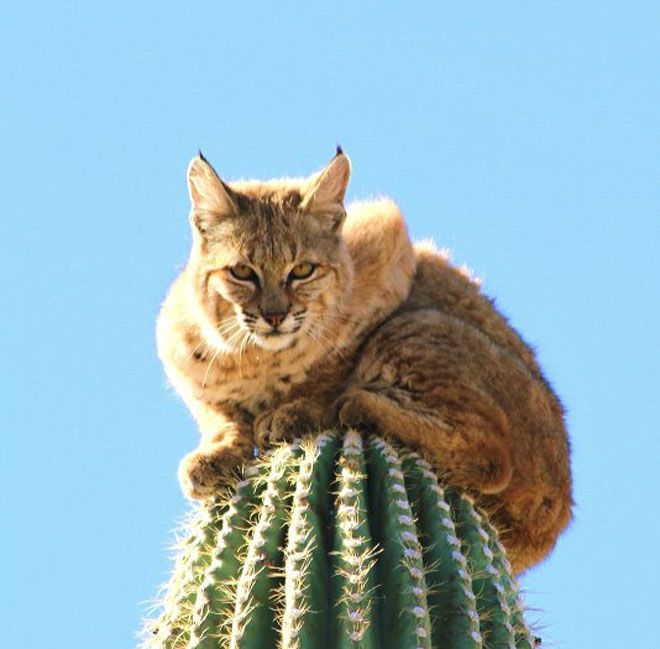 Bobcat escapes a mountain lion by crawling up a Saguaro! Wow!