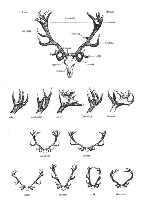 Scientific Illustration :: Deer Antlers | Scientific Illustration ...