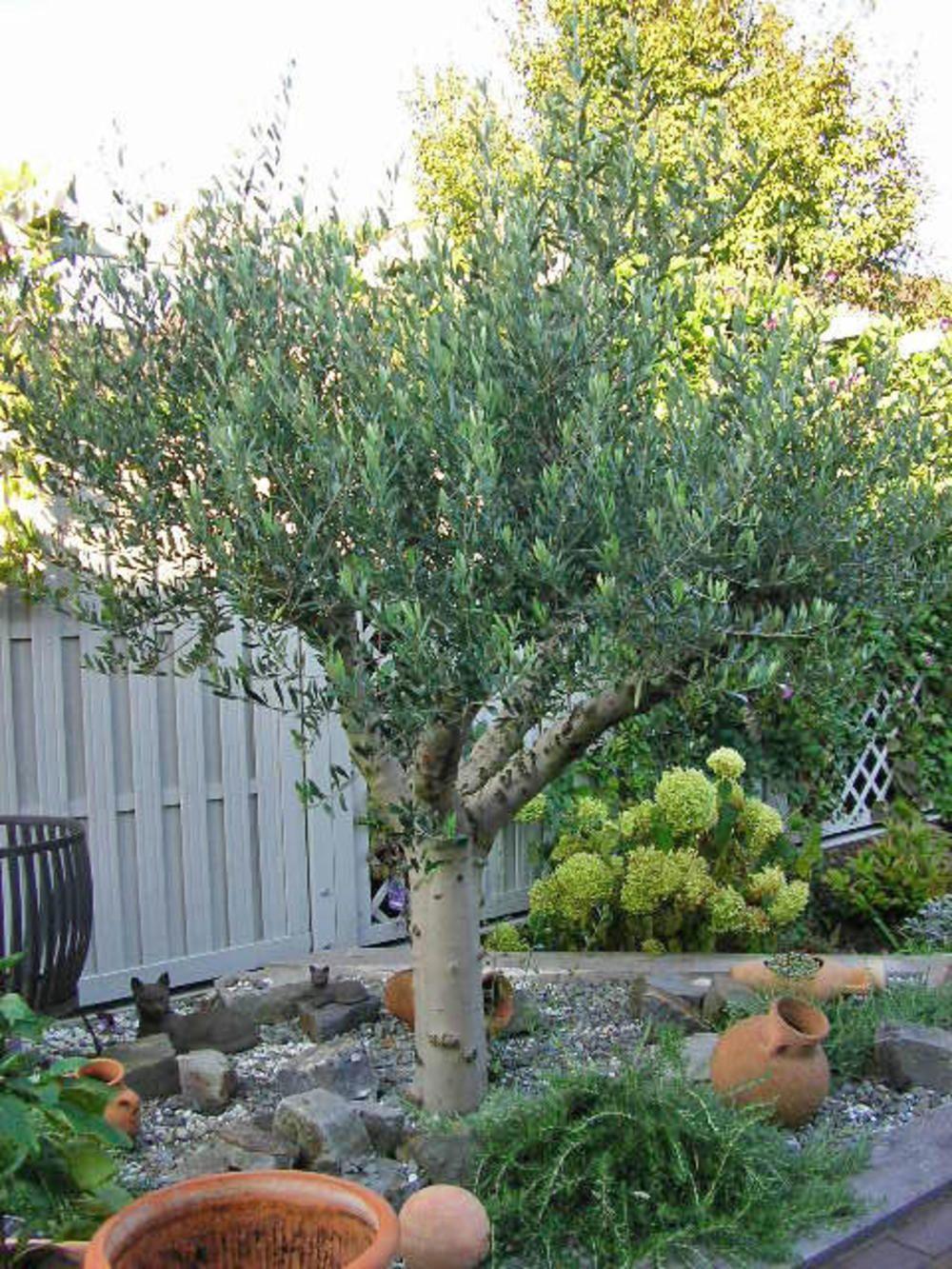 Der Olivenbaum Ein Hauch Von Suden Olivenbaum Vorgarten Pflanzen Kubelpflanzen