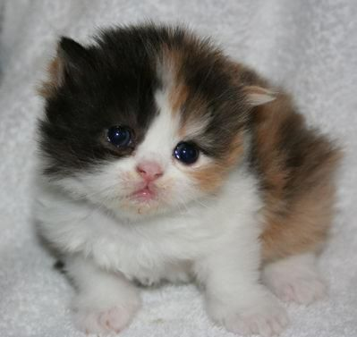 Calico Persian Kitten. I want her!