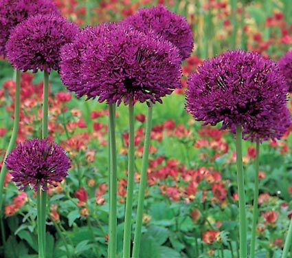 allium 'Purple Sensation'.