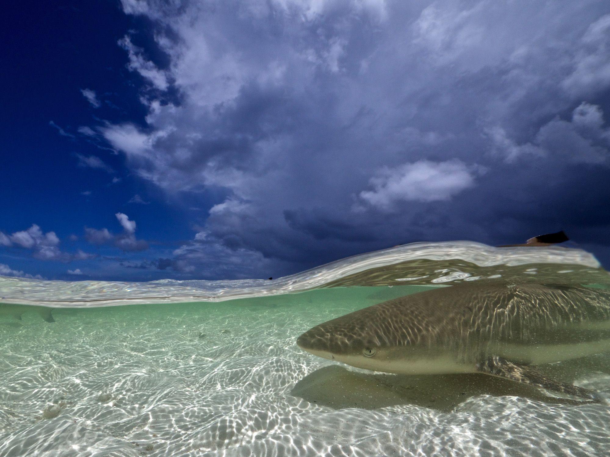 Blacktip sharks school in Seychelles shallows. Photo by Joe Lepore