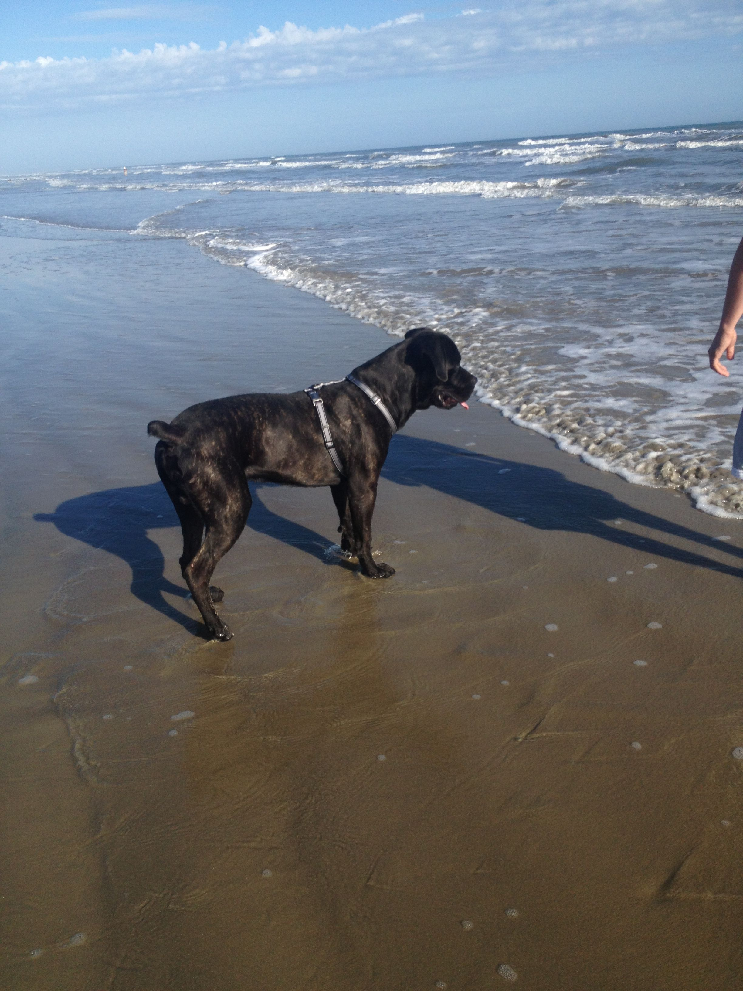 My Black Brindle Cane Corso At The Beach He S 8 Months Old On December 4th And 116 Lbs Dog Beach Cane Corso Brindle Cane Corso