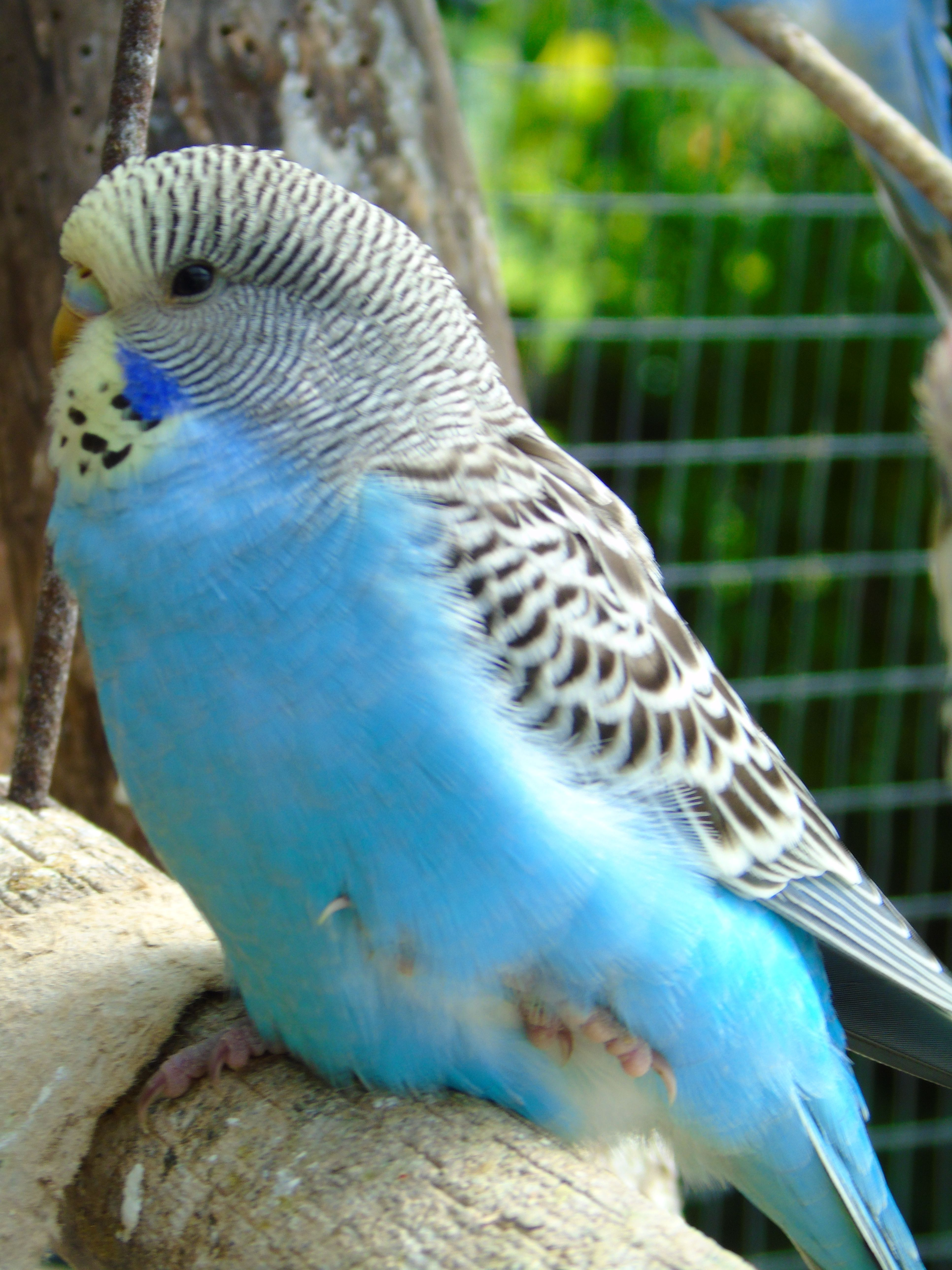 yellow headed sky blue baby budgie | Parakeets and other
