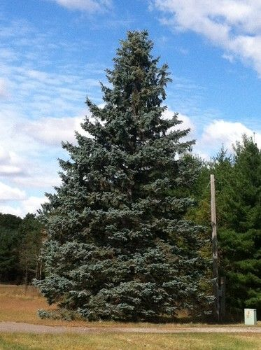 colorado spruce trees | Colorado Blue Spruce Trees for Sale in MN | Minnesota Wholesale Trees ...