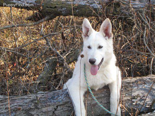 Snowman German Shepherd Dog 5 Months 500 Animals