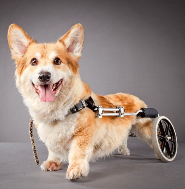 Silla de ruedas para perros variospinterest pinterest for Sillas para perros