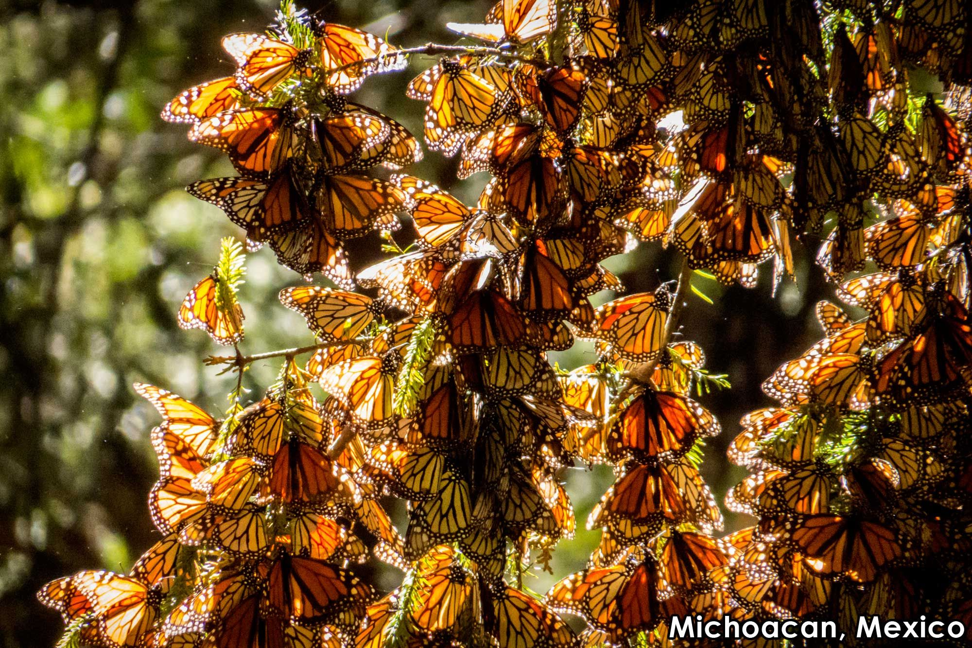 Michoacan forests in Mexico, become orange during the annual Monarch ...