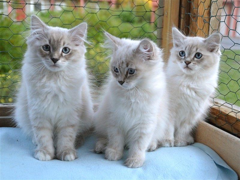 E Kullen Neva Masquerade Soderbykattens Sibiriska Katter Siberian Cat Cats And Kittens Siberian Kittens