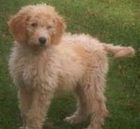 Omg Ttoodle This Is A Tibetan Terrier Mixed With A Standard