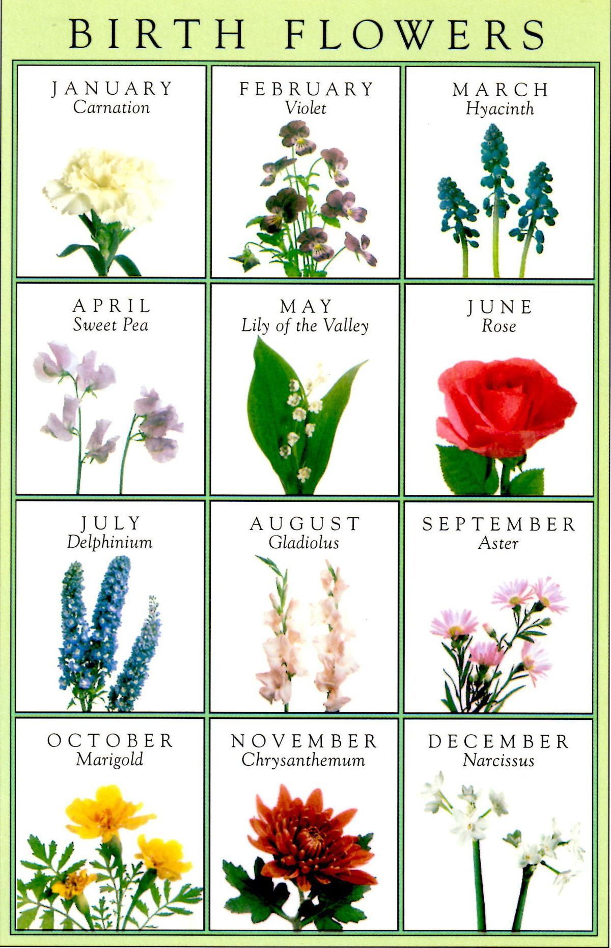 January Carnation Birth month flowers, Birth flower