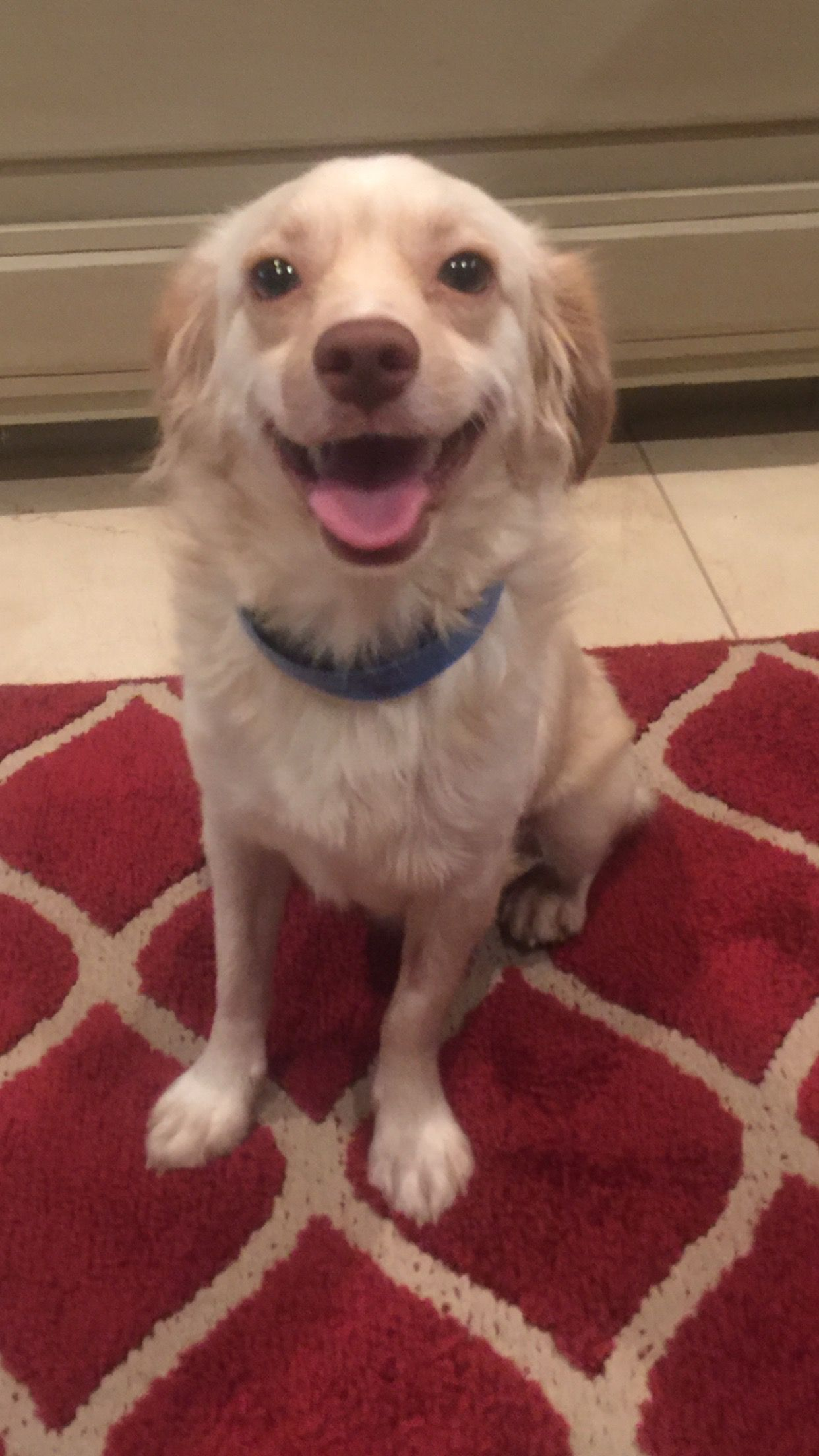 Chilier dog for Adoption in Fort Worth, TX. ADN703700 on