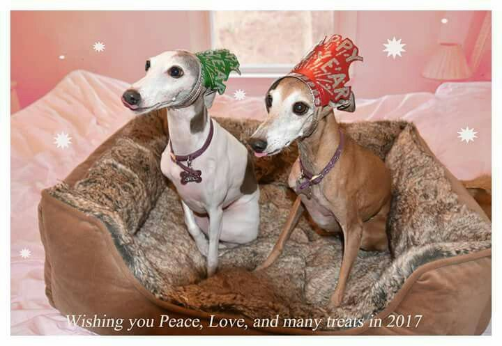 Pin By Pam Ostrander On Italian Greyhounds Whippets Greyhounds Grey Hound Dog Italian Greyhound Whippet
