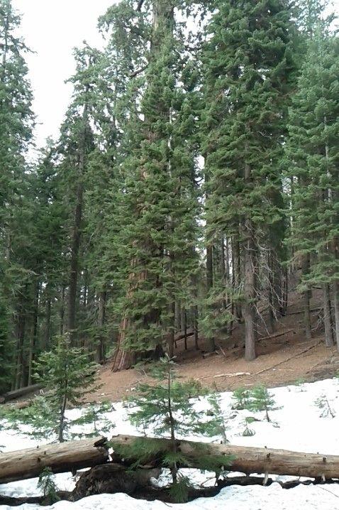 Sequoia's