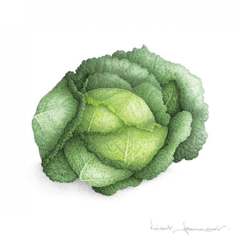 Chou Frise Dessin Legumes Illustration Botanique Aquarelle