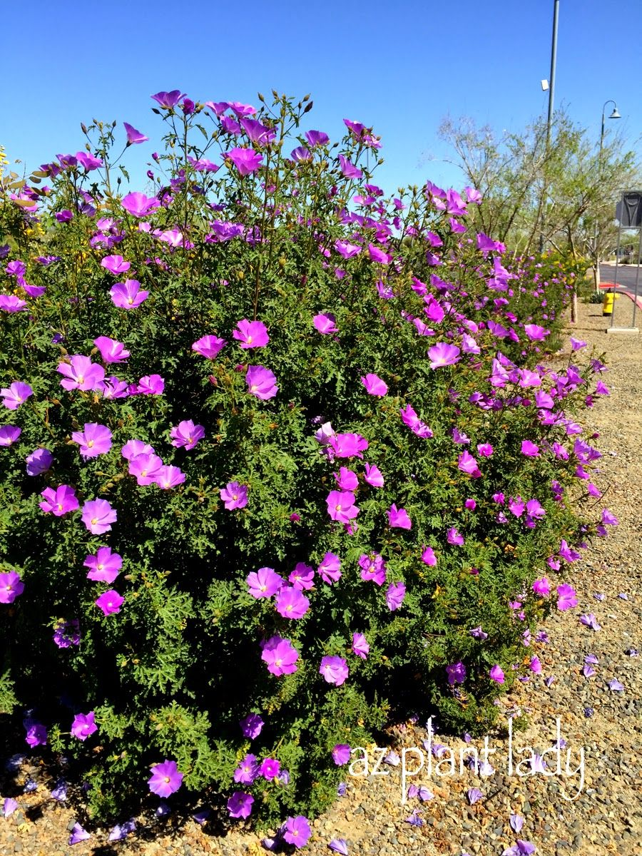 Ramblings From A Desert Garden Fuss Free Purple Flowering Beauty Hibiscus Shrub Pool Landscaping Plants California Native Garden