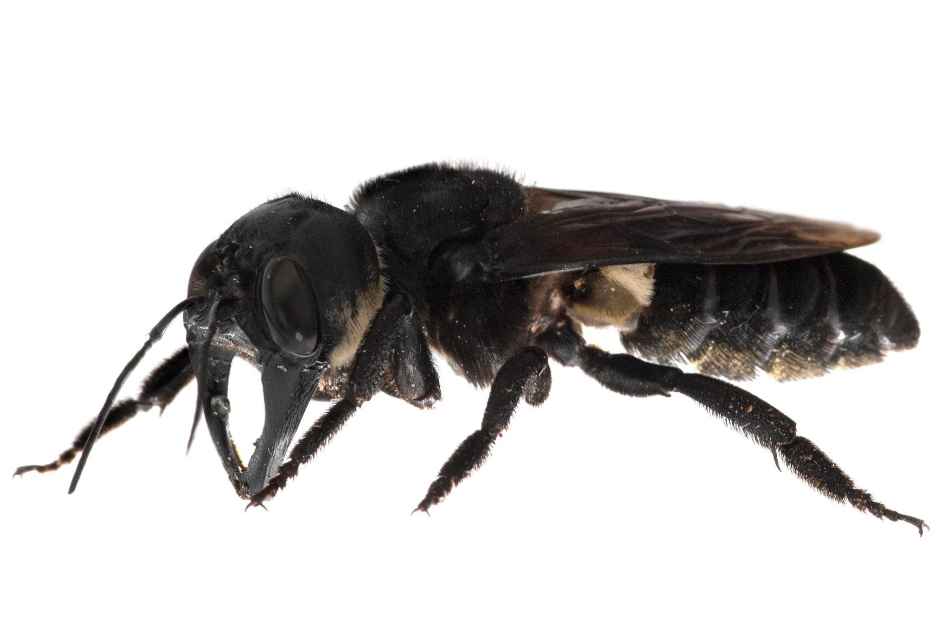 World's largest bee, once presumed extinct, filmed alive