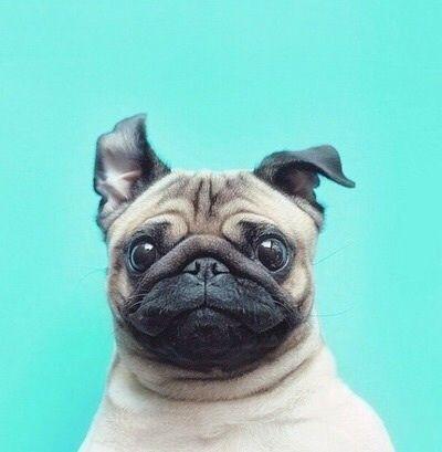 Imagem De Dog Cute And Pug Dog Wallpaper Iphone Pug Wallpaper
