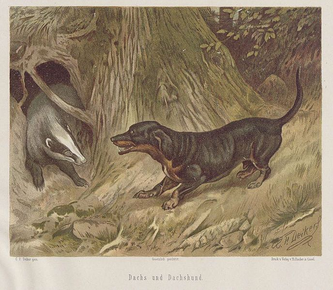 Illustration Of Dachshund Baying A European Badger Dachshund