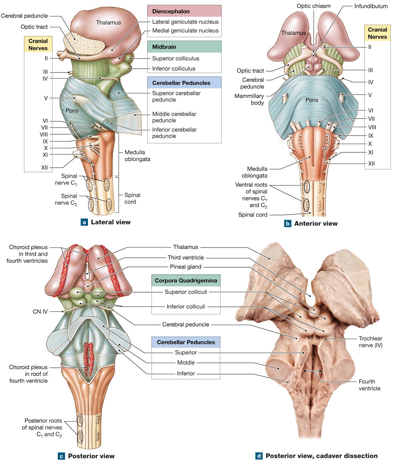 14.3: Brainstem: The medulla oblongata relays signals between the ...