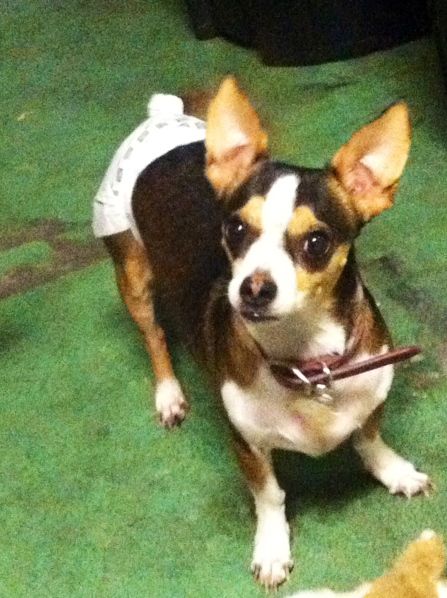 Chihuahua Rat Terrier Mix Bowser In A Diaper P Rat Terriers