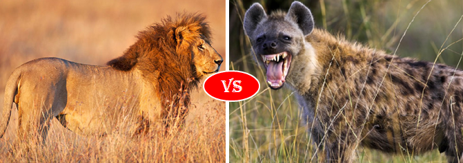 African Lion vs. Hyena Fight comparison, who will win