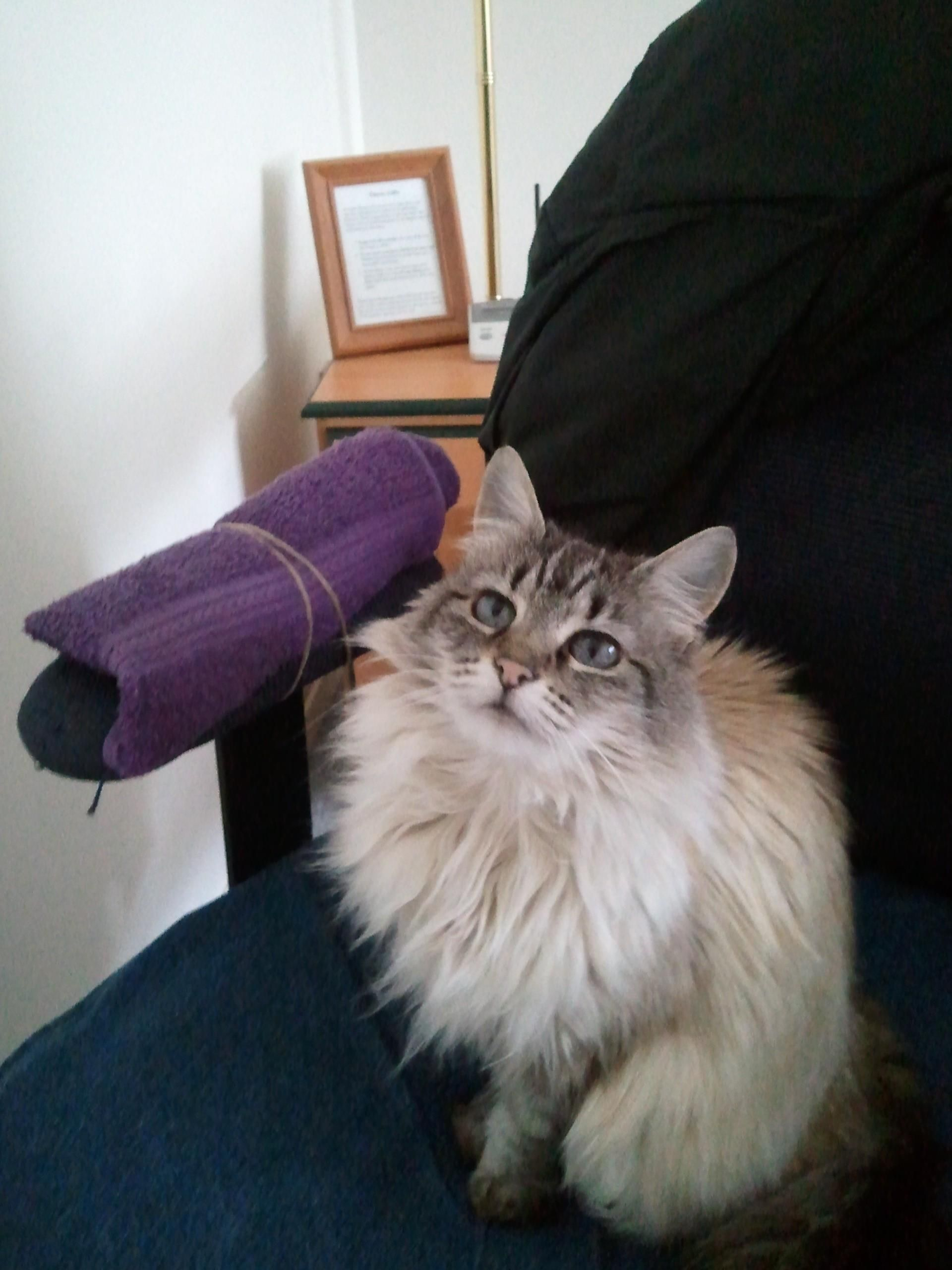 Reddit Meet Cream Puff My Beautiful Ragdoll Funny Cat Pictures