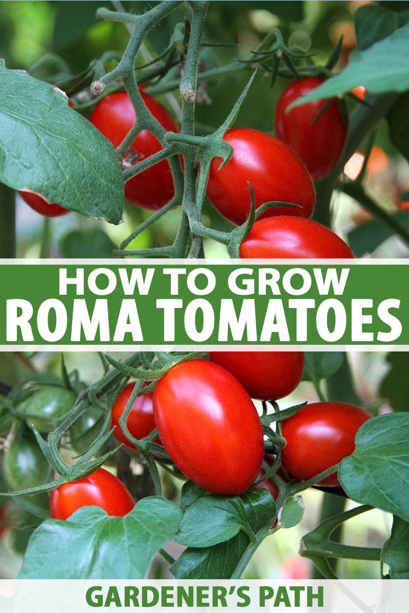 Tips For Growing Roma Tomatoes In 2020 Growing Roma Tomatoes