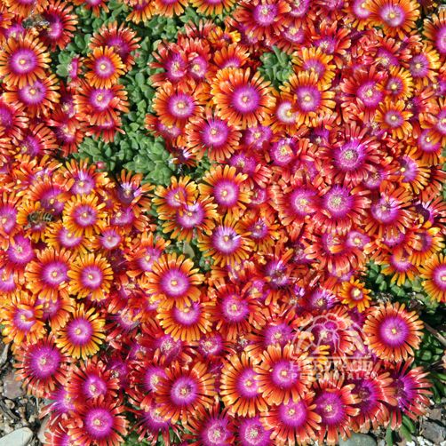 Delosperma 'P001S' Fire Spinner®...Ice Plant for Full Sun.  2 to 4 inches tall and spreads up to 24 inches in two years. Blooms from early Summer to mid-Fall...easy to grow.  ZONE 5-9