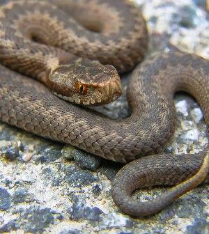 How To Make Snake Anti Venom Http Www Thegoodsurvivalist Com
