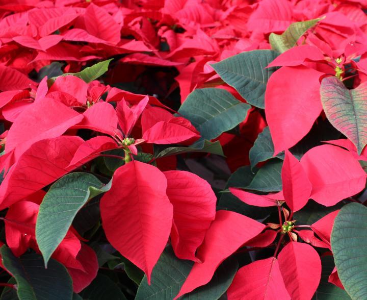 Poinsettias Unlikely Christmas Plants Christmas Plants Flower Pot Design Poinsettia Plant