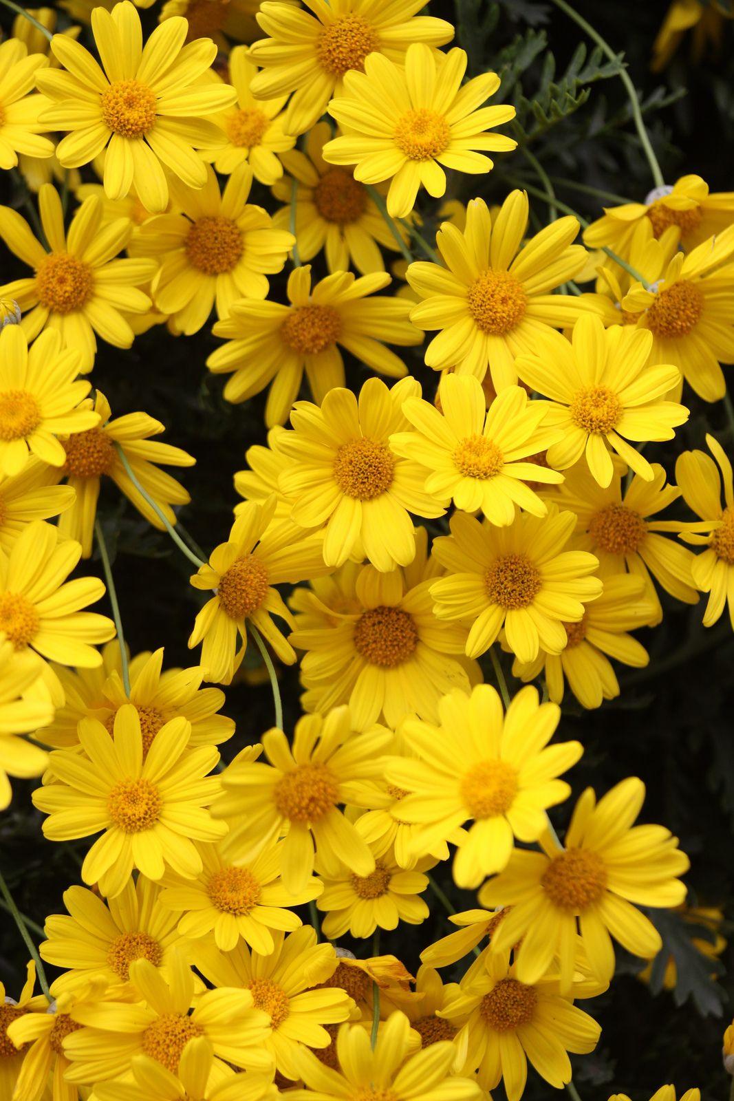 IMG_2569小黃菊 Yellow aesthetic, Yellow wallpaper, Yellow