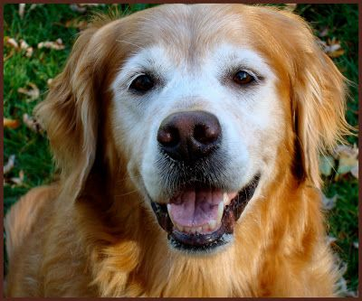 Thanksgiving And Gratitude Dogs Golden Retriever Dogs Animals