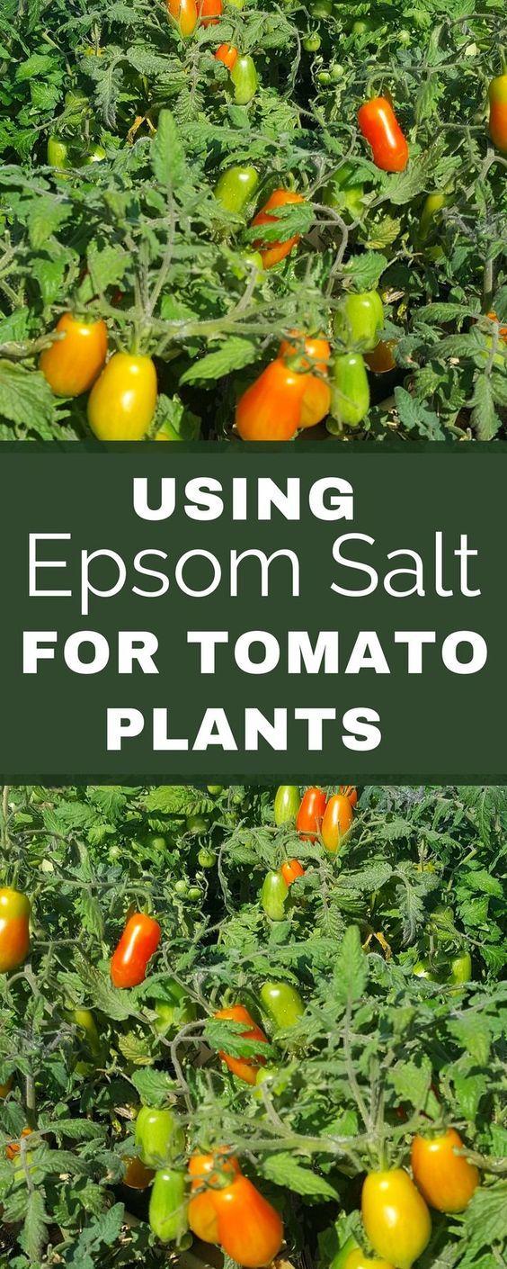 5 Unbelievable Things Epsom Salt Does For Tomato Plants Garden Tips Vegetable Garden Garden