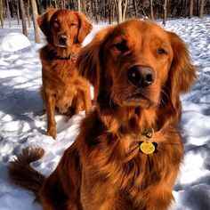Red Or Rustic Golden Retriever Golden Retriever Dogs Golden
