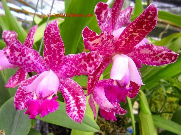 Orchid Hybrid Cattleya Pink Jaguar Orchid Flower Beautiful Orchids Cattleya Orchid