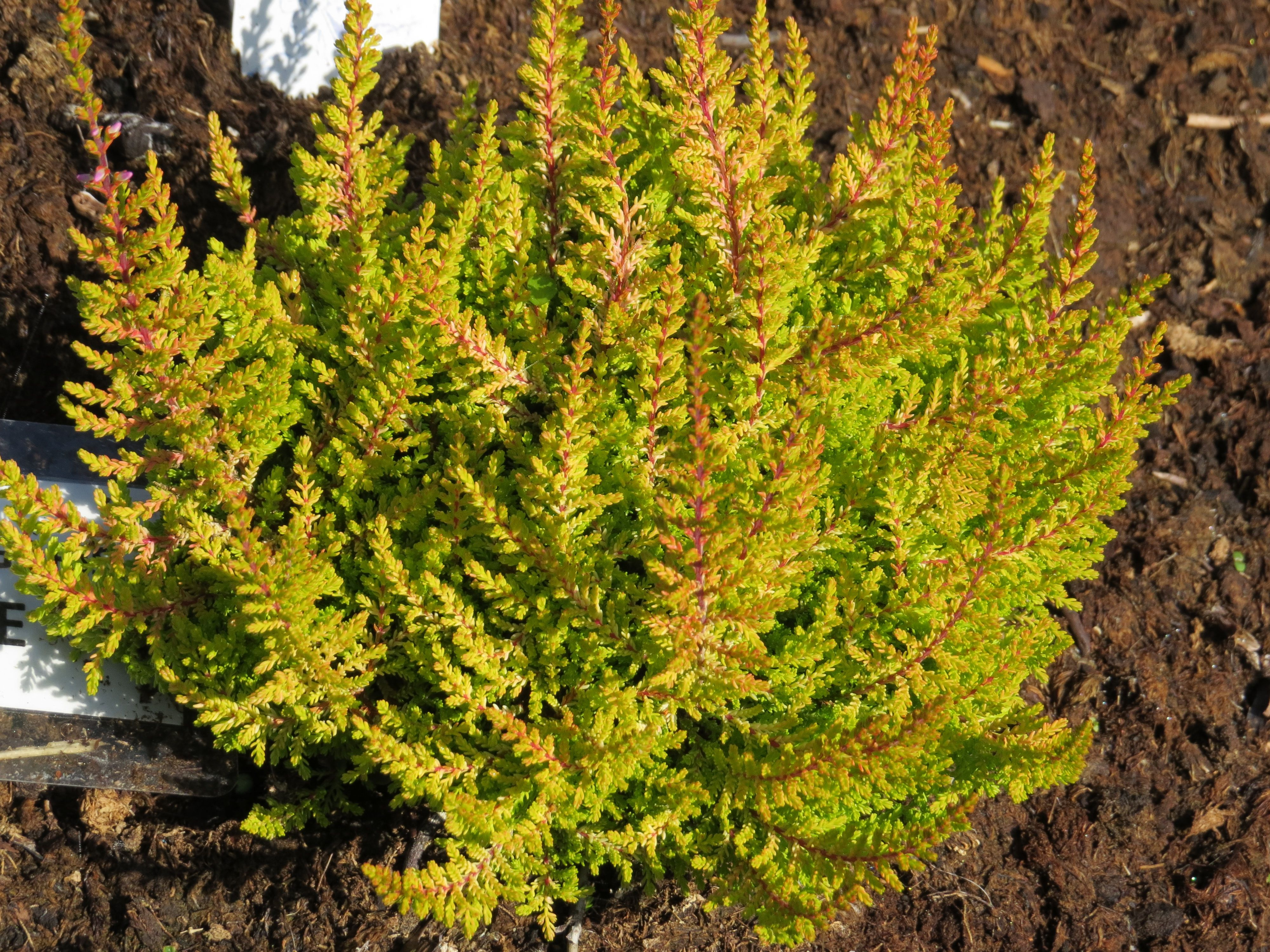 Calluna vulgaris sunrise sb rkov v esovi t v for Calluna vulgaris