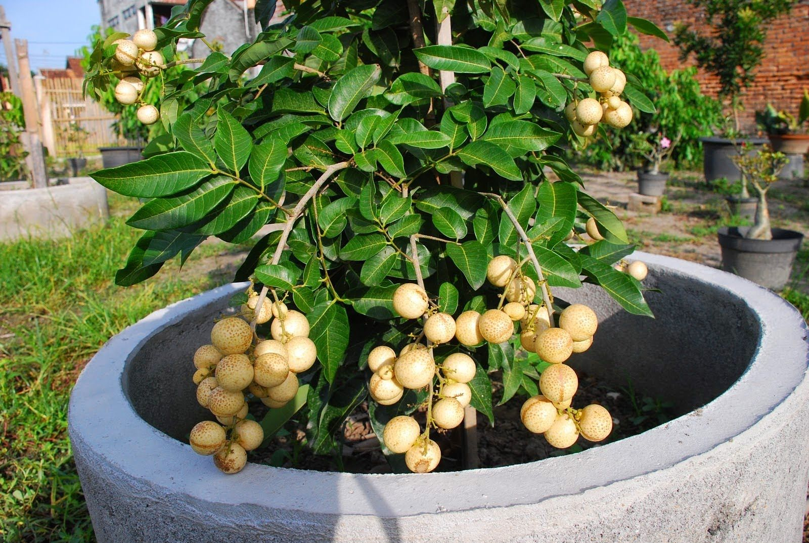 Growing A Longan Fruit Tree In Pot Diy Dwellings And