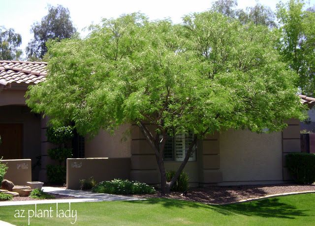 Lysiloma Watsonii Feather Tree Desert Fern Tree Native Deciduous Multi Trunk Residential Shade Tree Light S Desert Landscaping Arizona Plants Desert Garden