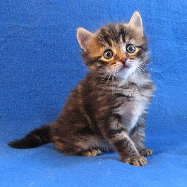Siberian Kitten Pico At 4 Weeks Old 21 Aug 2017 In 2020 Siberian Kittens Kittens Cutest Kitten