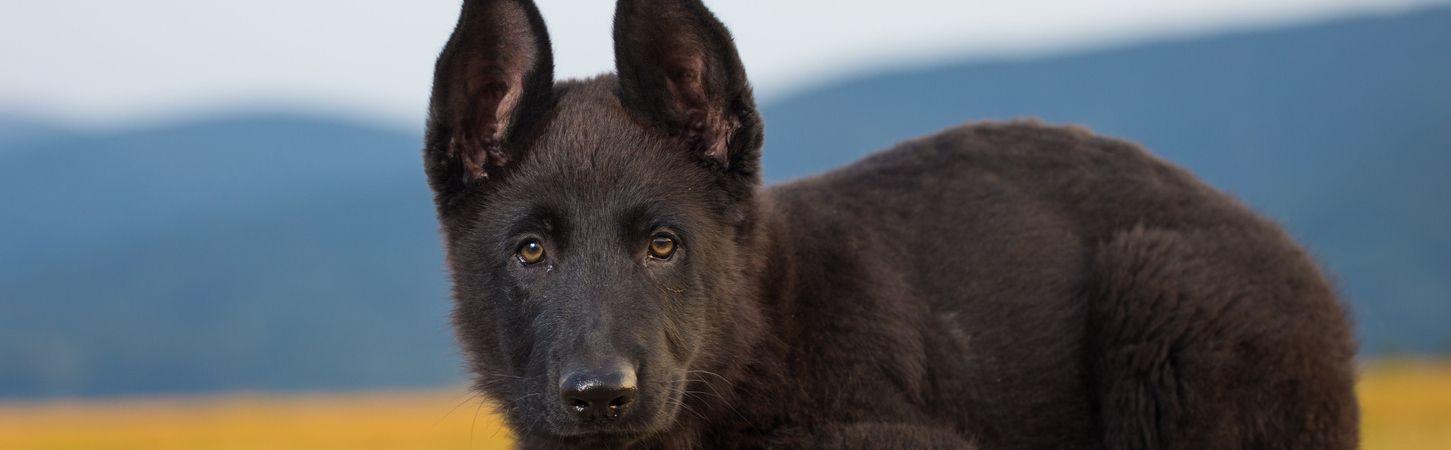 Black Belgian Malinois Malinois Belgian Malinois Dog