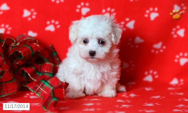 Maltese Puppy For Sale In Pennsylvania Maltese Puppy Maltese