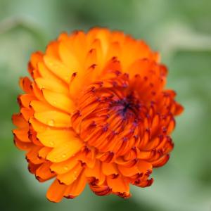Australian Seed CALENDULA Indian Prince Indian prince