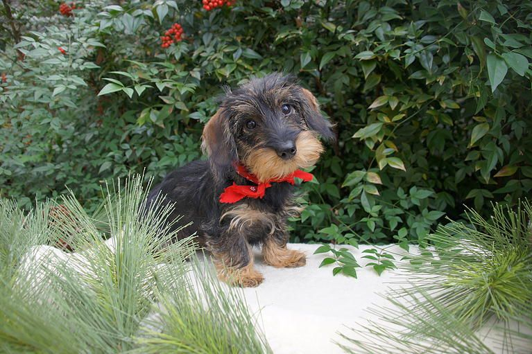 Willow Springs Miniature Wirehaired Dachshunds Indiana Http