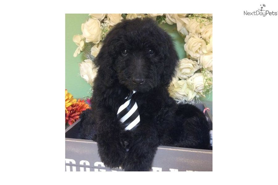Pierre Labradoodle Puppy For Sale Near Jacksonville Florida