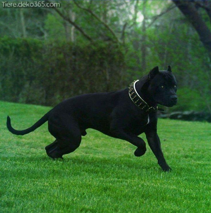 Die Besten Besten Bilder Von Schwarzen Pitbull Animals Dogs