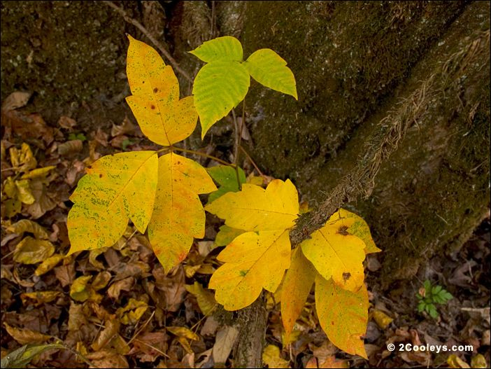 Poison Ivy This Problematic Little Plant Turns Bright Yellow The Easiest Way To Identify Poison Ivy From Other Plants I Poison Ivy Leaves Fall Foliage Leaves