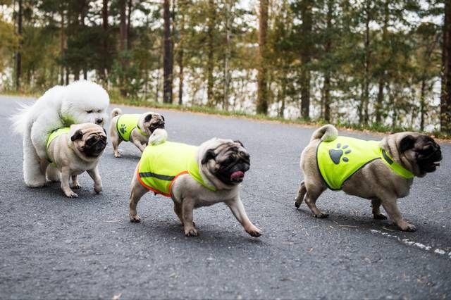 Myös koirilla on hyvä olla heijastimet pimeän aikaan, jotta peräänajoilta vältyttäisiin.